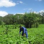 Kikatiti Farming of Soy Beans